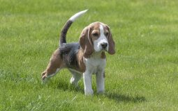 Tour d'horizon sur le beagle