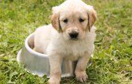 Top 8 des races de chiens à l'éducation facile