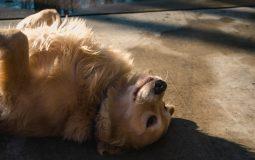 Les races de chiens qui perdent peu ou pas leurs poils