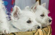 Les 11 races de chiens les plus petites