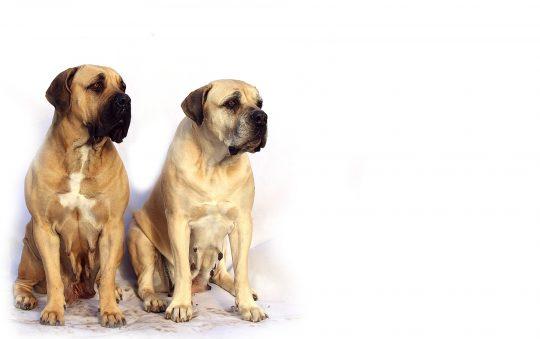 Top 12 des races de chiens molosses