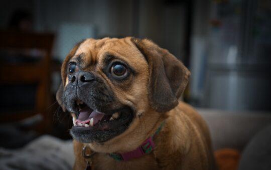 11 nouvelles races de chiens obtenues par croisement