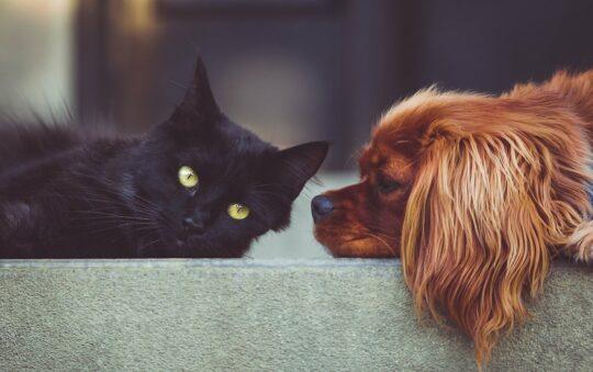 Est-il possible d'apprendre à mon chien et mon chat à se promener ensemble ?